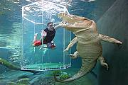 Get up close and personal with some of the largest Saltwater Crocodiles