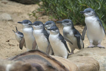 Penguin Parade & Koala Highlights with Eureka Skydeck Tower & Edge Experience