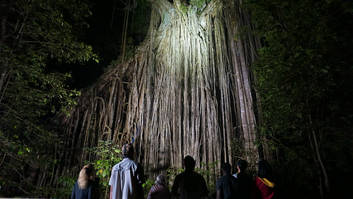 Curtain fig at night