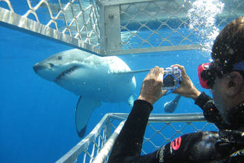Shark Cage Dive with Great Whites