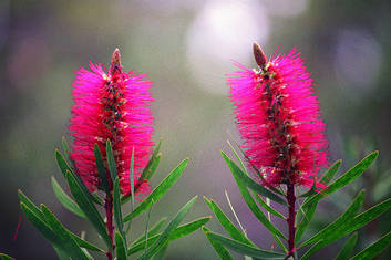 Albany Bottlebrush (credit Tourism WA)