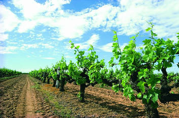 See the Grape Vines of Margaret River