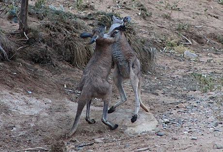 Kangaroos at Arkaroola