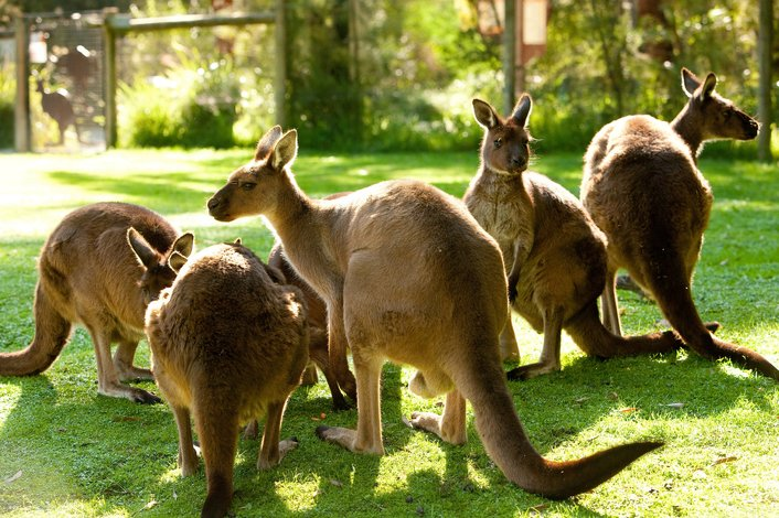 Kangaroos at Healesville Sanctaury