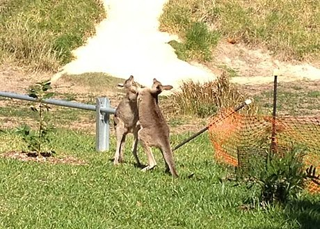 Boxing kangaroos at Stradbroke