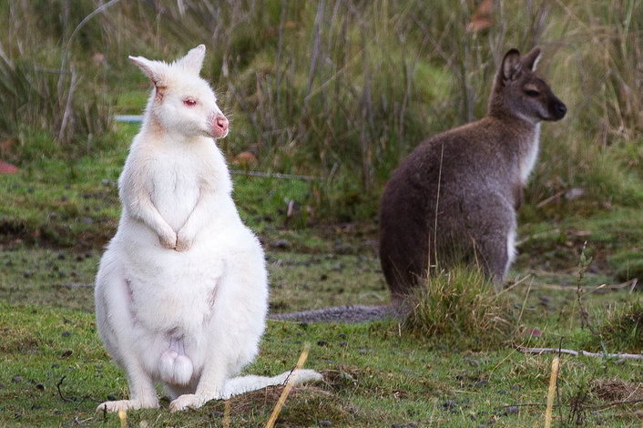 White Wallaby in the WILD