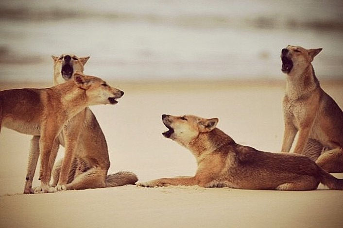 Pack of Dingoes