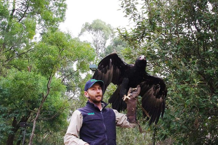 Wedge Tailed Eagle in Spirits of the Sky Show.
