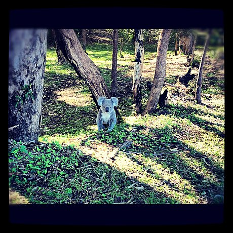Koalas on Stradbroke Island