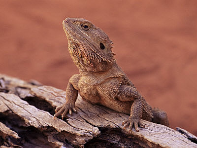 Northern Bearded Dragon