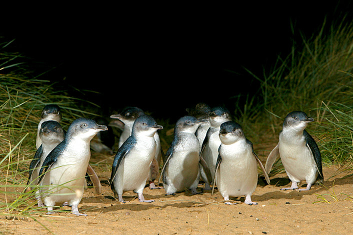 The stars of the show - the Little Penguins