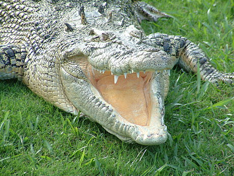 The Saltwater Crocodile is a powerful beast