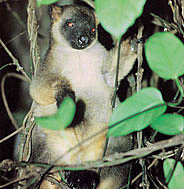 The amazing and rarely seen Tree Kangaroo