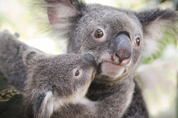 mother koala and baby