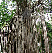 Over 500 year old Curtain Fig tree