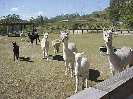 JPT visits the Alpaca Farm - cute hey?
