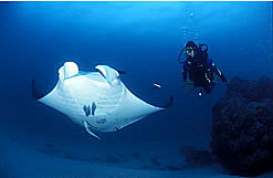 Manta Rays frequent the Reef