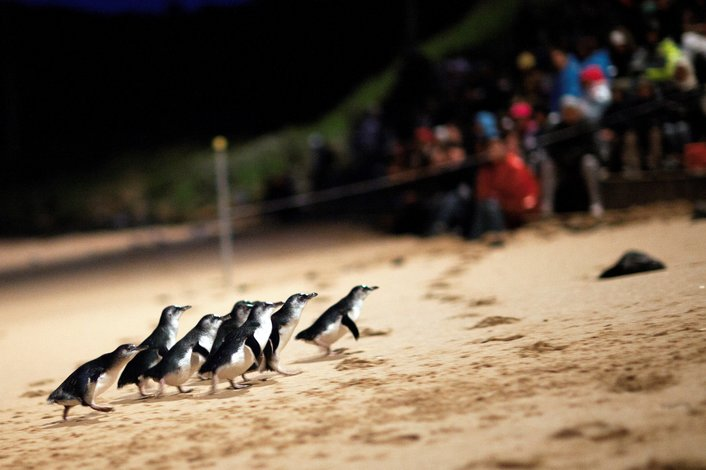 Watch the penguins cross the beach just after dusk