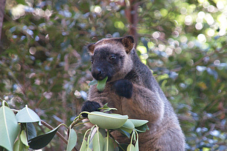 Search for the elusive tree kangaroos at the Curtain Fig Tree