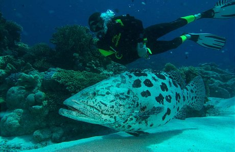 Giant Potato Cod