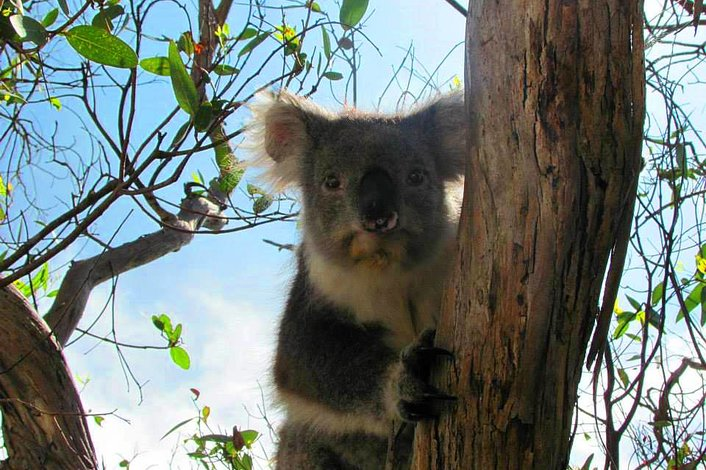 Koala's at Kennett River