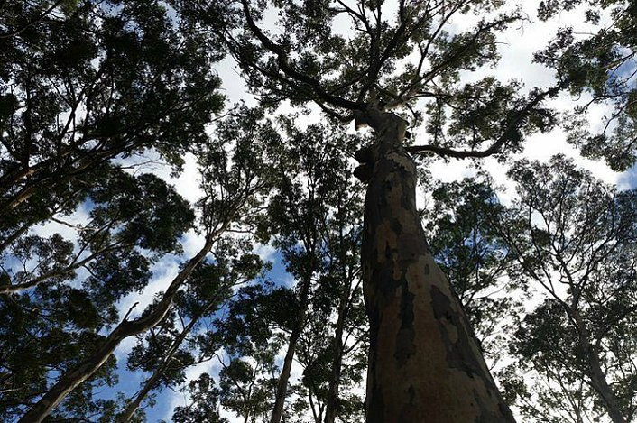 The Karri Trees of Boranup Forest