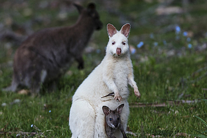 Spot Rate White Wallabies
