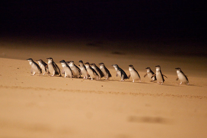 Little Penguins coming ashore