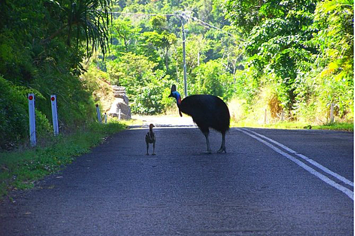 Cassowary seen on tour