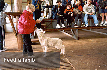 Lamb Feeding is Exciting
