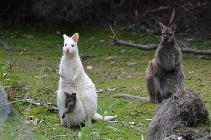 The illusive albino Wallaby. We know the hidden hot spots. So keep your eyes peeled