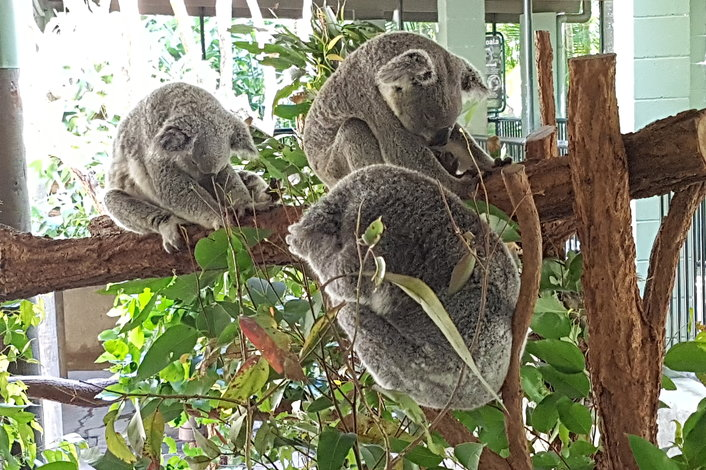 Koala Sleep time