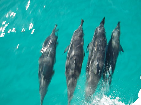 Dolphins off the Bow - Great Barrier Reef