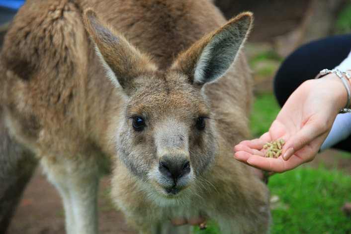 Feed the friendly kangaroos at Moonlit Sanctuary