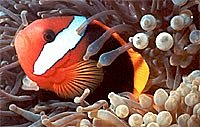 Hello Nemo - Great Barrier Reef