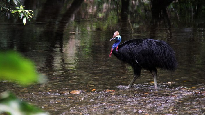 Cassowary at the Lunch Location