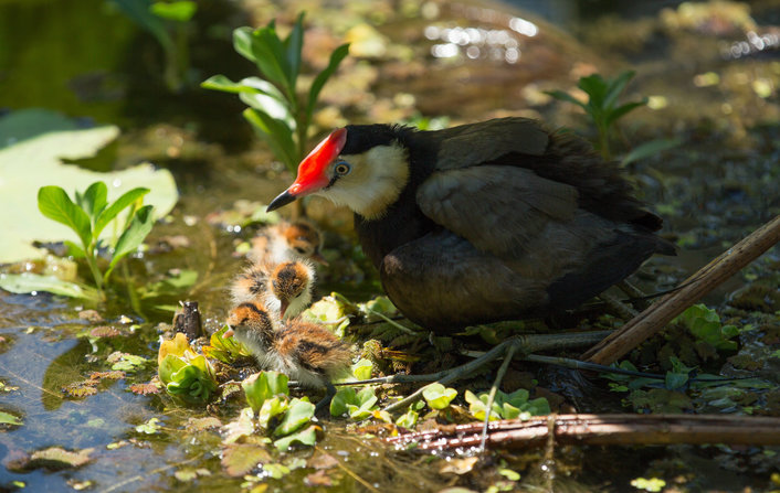 Daddy Jacana fiercely protecting his new born chicks