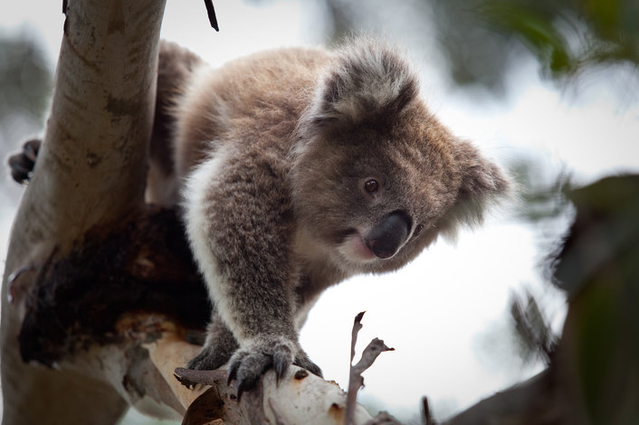 Spot Koalas at Moonlit Sanctuary