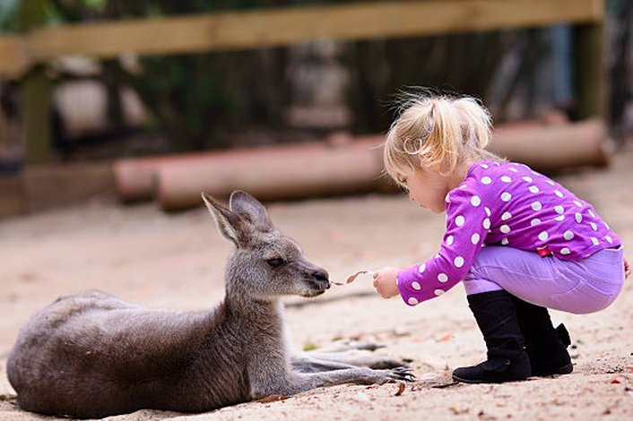 Feed kangaroos at Featherdale