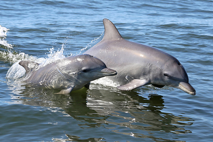 Dolphins playing alongside