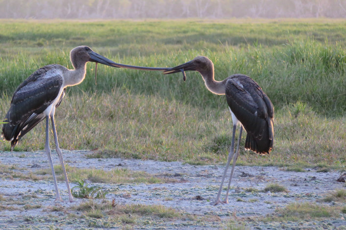 Baby Black Neck Storks (Jabiru's) fighting over a delicious lunch of file snake
