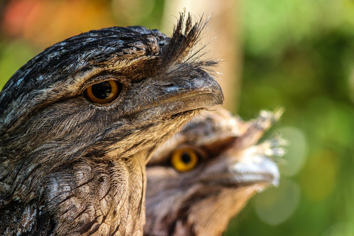 Tawny frogmouths at Moonlit Sanctuary