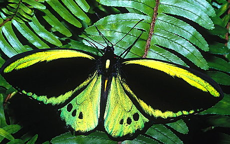 Cairns Birdwing butterfly- The male is the largest butterfly in Australia