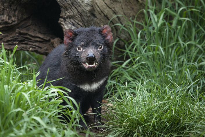 Meet a Tassie Devil at Moonlit Sanctuary