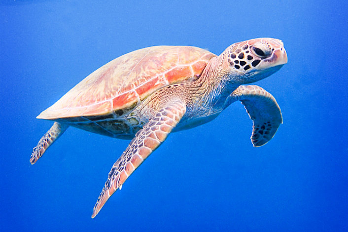 Sea Turtle in the deep blue of the ocean