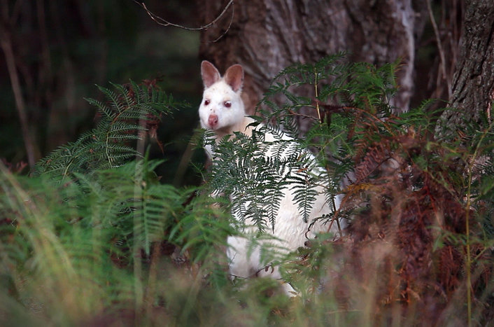 White Wallaby on Bruny