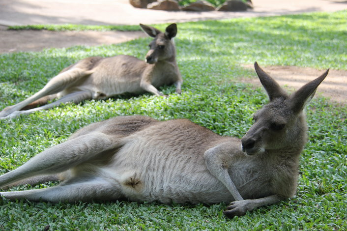 two kangaroos lying on the grass