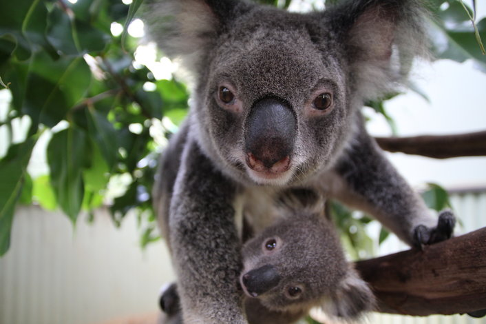 koala and baby in a tree