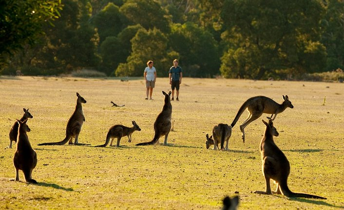 Wild kangaroos are plentiful and close-up sightings are guaranteed