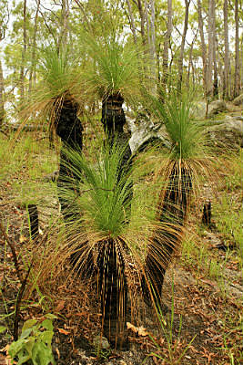 GRASS TREE'S IN THE SAVANNAH COUNTRY